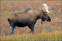Animal - Moose - Alaska (blmiers2) Tags: travel autumn orange brown green fall nature animal animals yellow alaska nikon moose antlers explore d3100 blm18 blmiers2