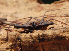 CIMG8400 (mantidboy) Tags: pet forest spider rainforest arachnid tail scorpion exotic bark scorpions whip cave charon hiding predator cf invertebrate dwelling insectivore tailless amblypygid tailess amblypygi grayii phillipenes grayi