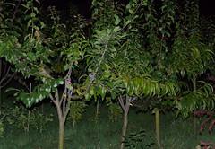 Réalisateurs (duthion) Tags: tree art weird experiment arbre laurent grafting graft expérience greffe duthion laurentduthion