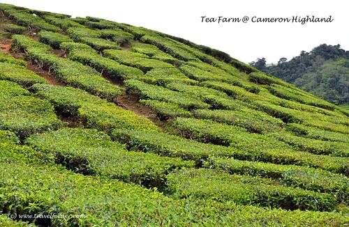 tea farm at Cameron Highland4