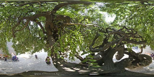 Gordiuszi fa