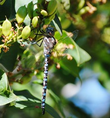 dragonflies 033 (queen's dragon) Tags: nature beauty insect moments dragonflies lucky views majical