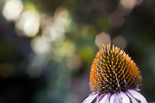 coneflower bokeh... by credd