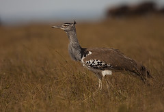 Kori Bustard (www.sandeepmall.com) Tags: africa canon kenya koribustard masaimara avians ardeotiskori sandeepmall sandsminoo
