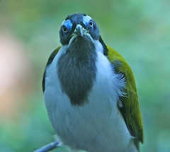 Blue-faced Honeyeater Closeup (janruss) Tags: seattle bird zoo bluefacedhoneyeater honeyeater avian woodlandparkzoo colorphotoaward janruss janinerussell