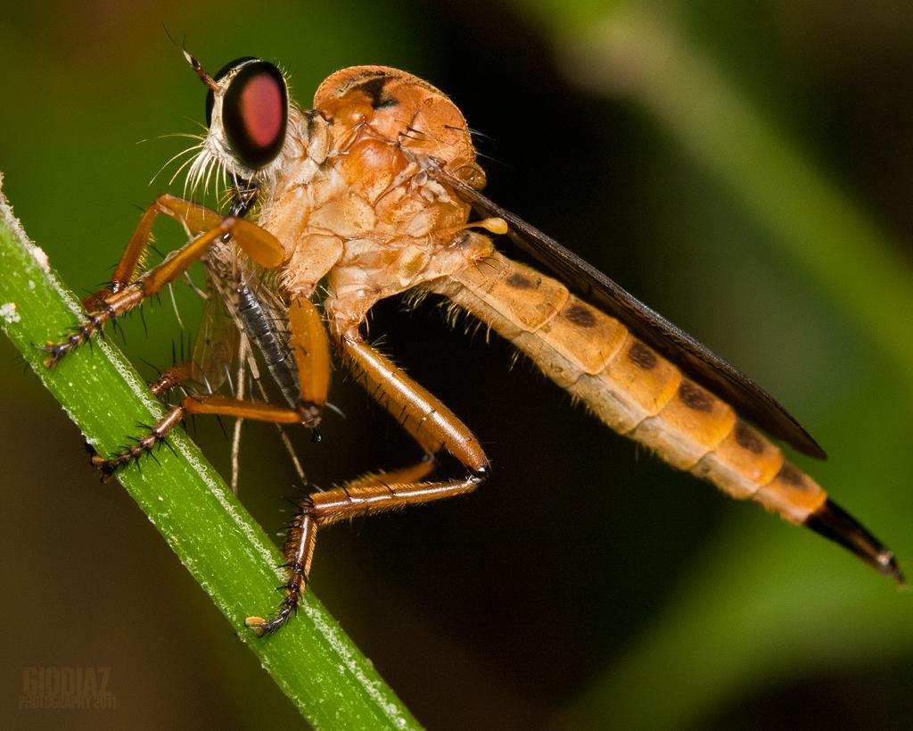Orange Robberfly [Asilidae] with Prey
