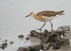 Ruff  (Philomachus pugnax) [Explored] (bojangles_1953) Tags: bird nature photo wildlife ruff wader philomachuspugnax