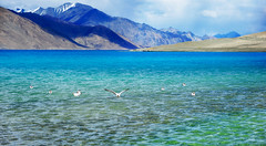 Pangong Tso : Paradise for migrant birds ( DocBudie) Tags: india birds landscape wildlife himalaya jk ladakh northindia travelphotography pangongtso northernindia pangonglake saltwaterlake migrantbirds colorfullake waterfow brownheadedgull jammukashmirprovince ladakhscenic migrantbirdsinhimalaya thehighestlakeintheworld changchemo