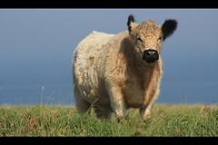 White Galloway / Heligoland (michael_hamburg69) Tags: sea geotagged island rind cattle beef north insel nordsee rare steilkste dne archipelago schleswigholstein galloway oberland bight helgoland basileia mittelland selten nordseeinsel deutschebucht kreispinneberg heligoland hochseeinsel whitegalloway abalus buntsandsteinfelsen detlun geo:lat=54185674840092965 geo:lon=787845652386477 katrinsagtplschohrkuh