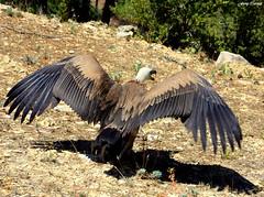 Buitre Leonado (Gyps fulvus) (Ferny Carreras) Tags: naturaleza brown nature animals fauna aves animales monte mediterrneo buitreleonado buitre iberica marrn gypsfulvus carroero