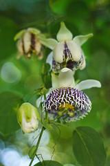 Flores de Maracuj (Chantal Wagner) Tags: white plant flower planta branco fruit purple flor passion passiflora f18 roxo maracuja maracuj ef50mmf18 ef50mm maracujazeiro