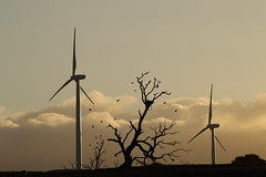 Birds and Nest (blachswan) Tags: trees sunset birds clouds sheep nest australia victoria windtowers waubra waubrawindfarm