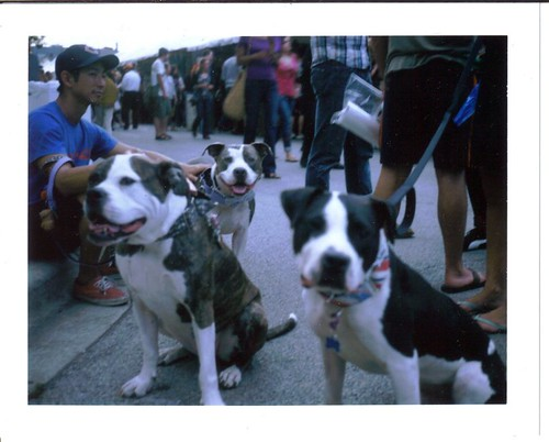 Two (or three) Pitties in the City