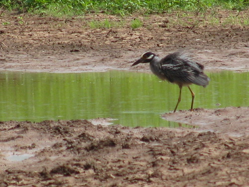 Great Blue Heron uses restored wetland habitat near a significant archeological site in Yell County, Arkansas
