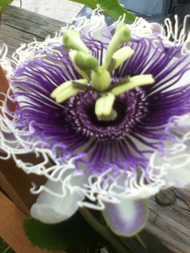 some of my passiflora - Page 2 6152877045_0b08010871