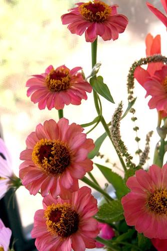 Garden Zinnias