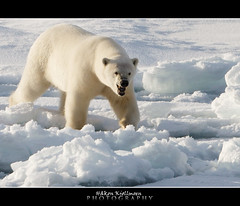 The Dark Side (Hkon Kjllmoen, Norway) Tags: white cold ice beautiful norway ngc polarbear killer isbjrn supershot specanimal fotocompetition fotocompetitionbronze coth5 hkonkjllmoen wwwkjollmoencom ayrphotoscontestwildanimals allofnatureswildlifelevel1
