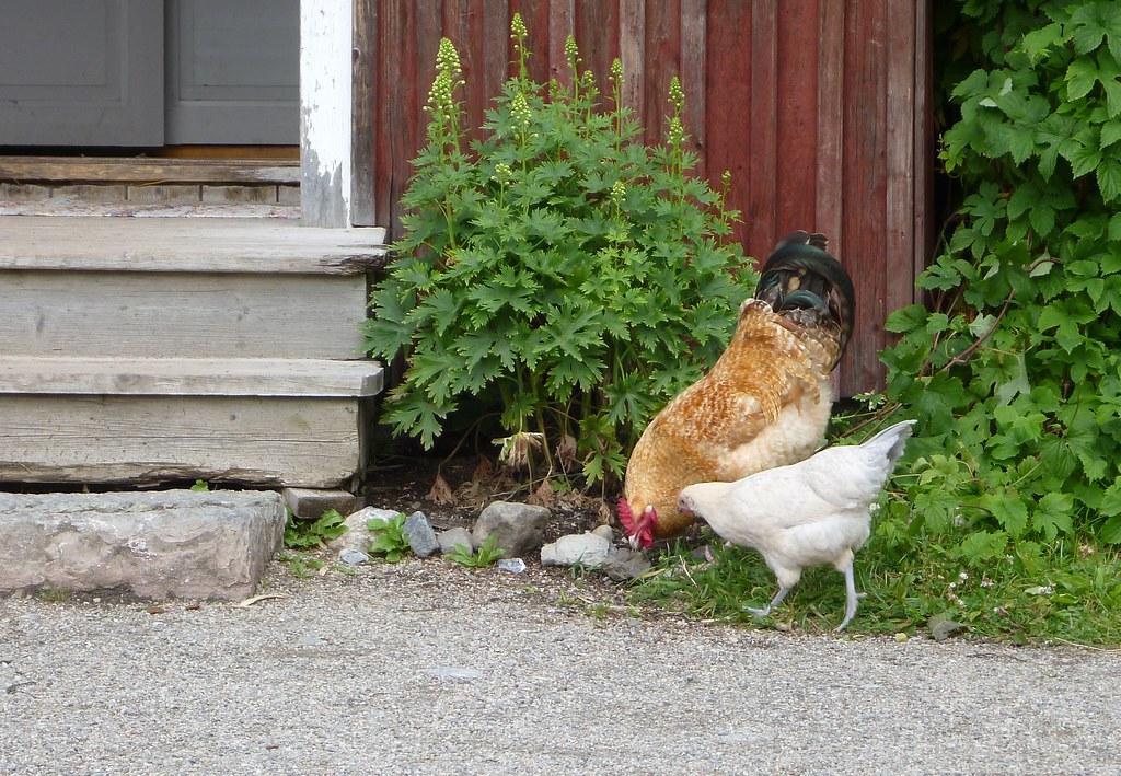 Hane og Høne