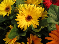 Gerbera Daisies (Lissyanne (fighting pain daily)) Tags: flowers red orange nature yellow daisies petals flora blossom gerberadaisies 2011 perfectpetals