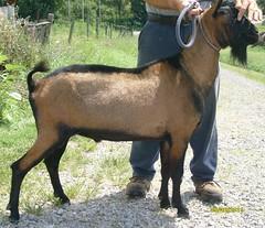 SIR ECHO CEZI - B001521798 (Erin Cooper Young Living) Tags: echo goat american dairy buck sir genetics oberhasli adga cezi 110813 goat:registry=american goat:breed=oberhasli goat:sex=buck b001521798 goat:regnumber=b001521798 goat:regname=sirechocezi