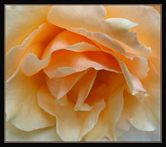 Orange Sherbet (Photographic Poetry) Tags: orange nature rose garden bloom sherbet orangesherbet mygearandme