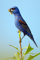 Blue Grosbeak With Bug (Brian E Kushner) Tags: new blue birds animals bug nikon wildlife nj jersey grosbeak brigantine f4 forsythe birdwatcher forsythenwr bluegrosbeak passerinacaerulea 600mm nikor forsythenationalwildliferefuge oceanville afsnikkor600mmf4gedvr d7000 bkushner brianekushner nikond7000 nikon600mmf4afsvr