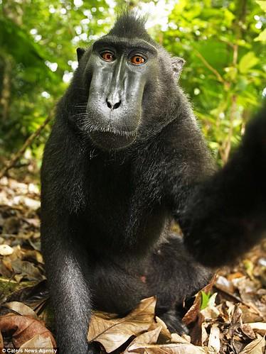 monkey self-portrait2