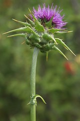 Jaggy Thistle, Scotland (David Alexander Elder) Tags: scotland thistle jaggy