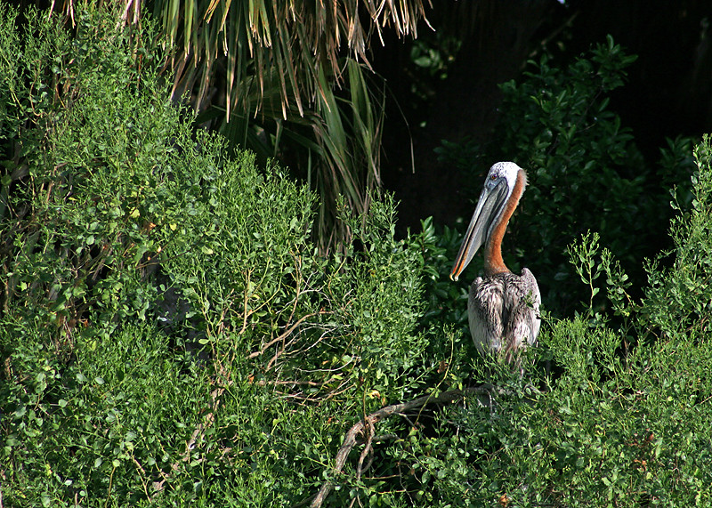 Brown Pelican in the Black Mangroves of Seahorse Key