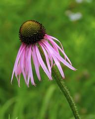 Pale Purple Coneflower (milesizz) Tags: wisconsin purple echinacea milwaukee coneflower wi asteraceae manypetals wfgna threatened echinaceapallida palepurpleconeflower