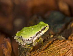 Hyla japonica On Tree Stump (aeschylus18917) Tags: macro nature japan nikon g wildlife amphibian frog micro 日本 nikkor prefecture nagano treefrog f28 vr pxt ueda naganoprefecture hyla 105mm カエル anura 105mmf28 amphibia naganoken hylidae アマガエル 長野県 別所温泉 besshoonsen 長野市 105mmf28gvrmicro hylajaponica 上田市 neobatrachia d700 japanesetreefrog nikkor105mmf28gvrmicro naganoshi ニホンアマガエル ダニエル hylinae danielruyle aeschylus18917 danruyle druyle uedashi ルール ダニエルルール