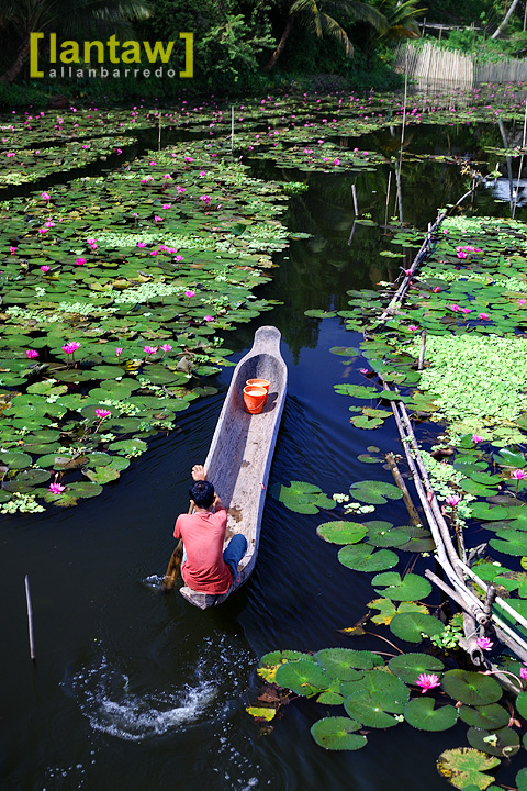 Through the Lotus Field