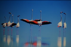 Pond Molentargius, Sardinia (yokopakumayoko) Tags: sardegna fauna flamingo flamingos cagliari avifauna stagno fenicotterirosa zoneumide stagnodimolentargius provdicagliari angolidisardegna