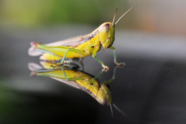 Baby Grasshopper