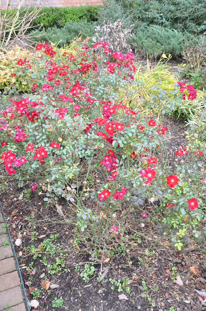Flower Carpet Red Groundcover Rose