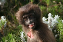 Guassa_Baby Gelada Baboon 3 (Solimar International) Tags: tourism community ethiopia guassa