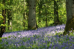 The Bluebell Woods, West Sussex, UK (Puckpics) Tags: flowers summer playing flower colour bluebells woodland garden spring play gardening pastel flowering bluebell photogenic springcolour flowergardening woodlandwalks