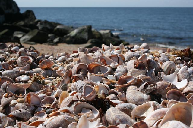 slipper shells
