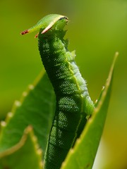 El smbolo del dragn............ (T.I.T.A.) Tags: macro mariposa tita oruga charaxesjasius orugaverde carmensolla bgndaxd orugadecharaxesjasius carmensollafotografa carmensollaimgenes