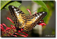 Clipper (Parthenos sylvia) (carrmp) Tags: uk england nature butterfly nikon northeast teesside sylvia clipper butterflyworld d300 parthenos mygearandme
