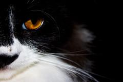 Light on the darkness (Michele Bernardes) Tags: female cat blackcat kitten lola kitty gato gata bichano gatopreto