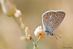 Equilibrium (Danny_Little) Tags: nature butterflies insects romania closeups bucuresti sigma105mmf28exdgmacro nikond90 seeawonder kenkoextensiontubes1225