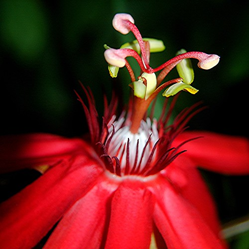 Fertile red Passion Flower glows in the morning sun by jungle mama