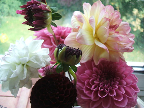 Dahlias from Charlecote
