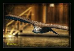 Buitre o Len / Vulture o Lion (Julio_Castro) Tags: fauna zoo aves faunia buitreleonado buitre rapaces nikond700 juliocastro carroeras oltusfotos