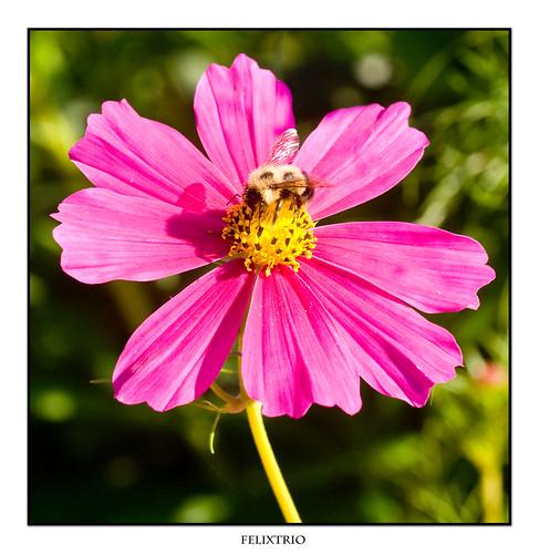 Bumble Bee by felixtrio