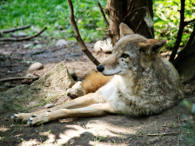 Lazy Coyote