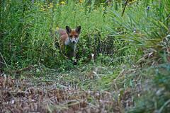 On the hunt (IanAWood) Tags: nature wildlife fox hertfordshire colnevalley rickmansworth wildlifetrust 500mmf4dii stockerslake hnhs d3s walkingwithmynikon hmwt nikkorafs500f4 stockerslakenr