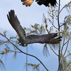 Red-tailed Black-Cockatoo (petefeats) Tags: nature birds australia queensland cacatuidae calyptorhynchusbanksii redtailedblackcockatoo psittaciformes kinkabeach