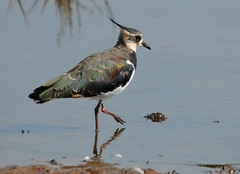 Lapwing (Frank Gardiner- No Awards Please-Comments Welcome) Tags: lapwing plovers britishbirds